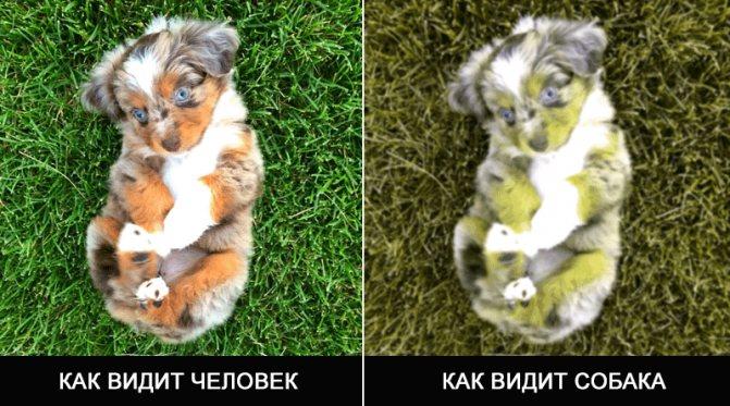 как собака распознает цвета