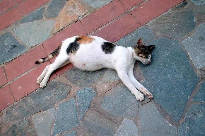 Как спровоцировать выкидыш у кошки, прерывание беременности у кошек