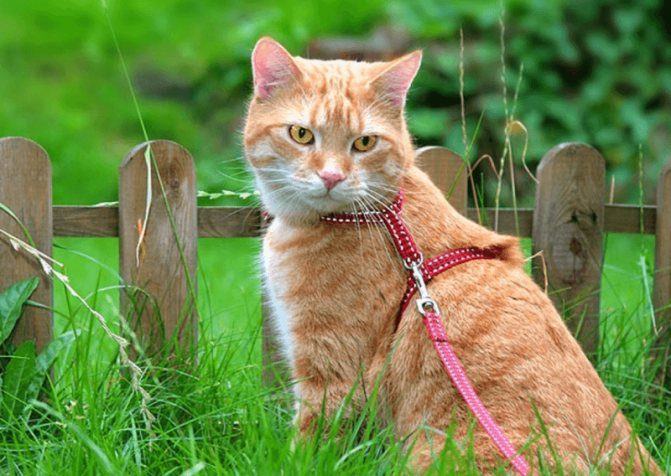 Как сшить шлейку и сделать поводок для кота и кошки своими руками для безопасных прогулок