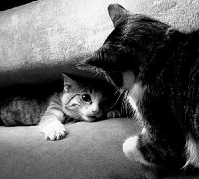 как свести двух кошек в одной квартире