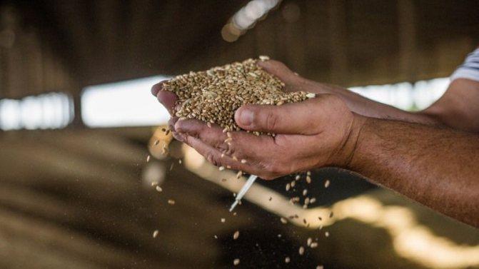 Как уберечь зерно в хранилище