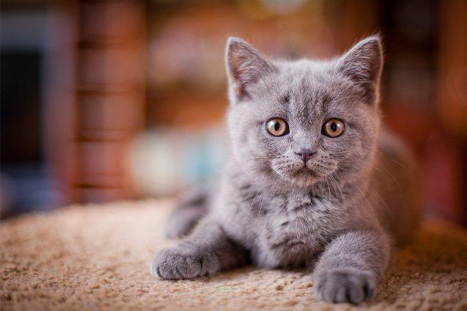 как ухаживать за глазами британского котенка 3