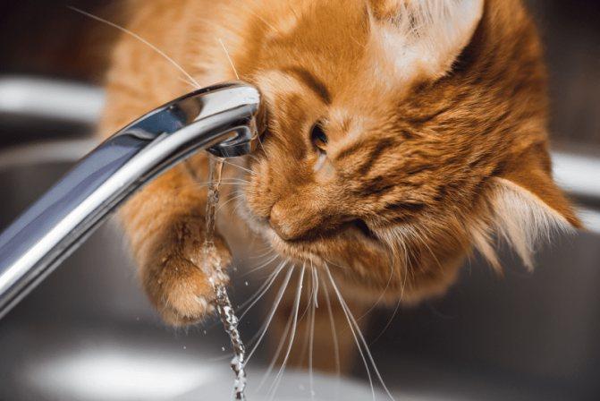 Как ухаживать за котом после мочекаменной болезни