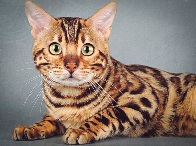 Как воспитывать бенгальского котенка