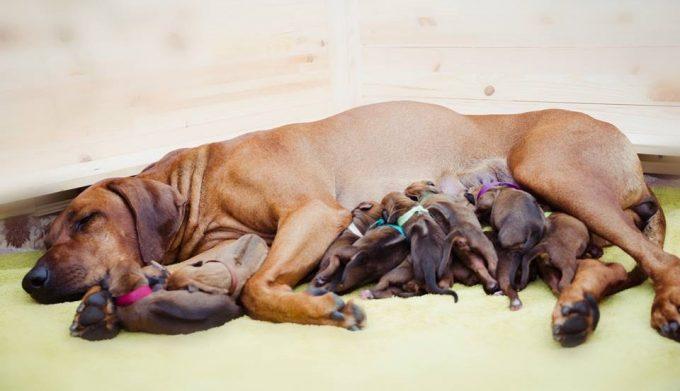 как возникает эклампсия у собак