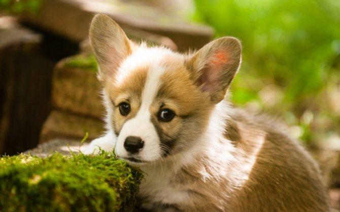 Как выбирать щенка корги пемброк 2