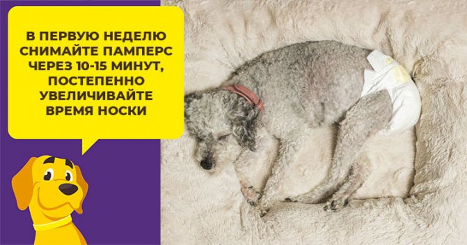 Как выбрать и использовать подгузники для больших и маленьких собак