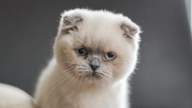 Как выбрать котенка шотландской вислоухой кошки