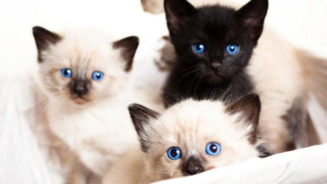 Как выбрать котенка сиамской кошки