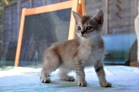 Как выбрать котёнка табби