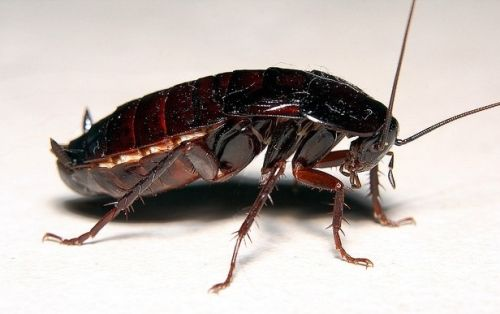как выглядит мадагаскарский таракан