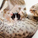 Как выглядит мастит у кошек