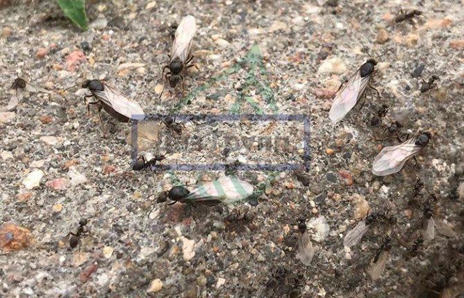 Как выглядит матка муравьев - на фото матки с крыльями