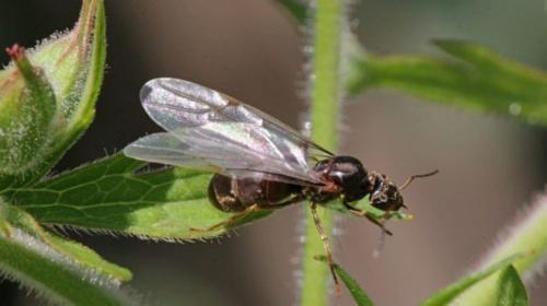 Как выглядит матка муравья садового. Информация о гостях