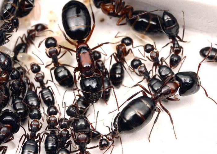 как выглядит муравьиная матка фото