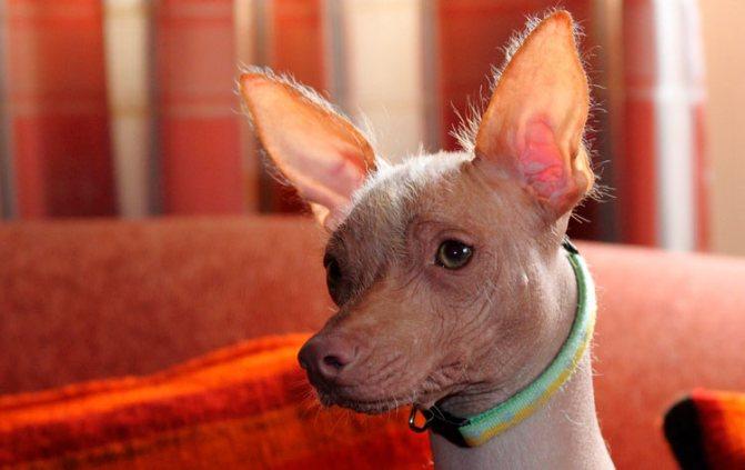 как выглядит Перуанская голая собака