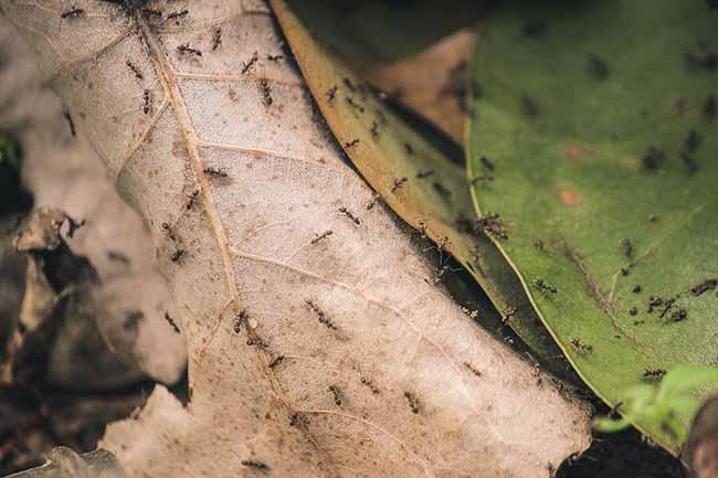 Как называются чрные муравьи