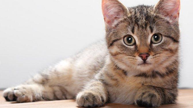 Как выглядят глисты в кале у кошки