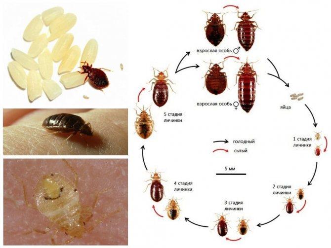 Как выглядят клопы (фото), где водятся, откуда приходят. Отличия от других паразитов