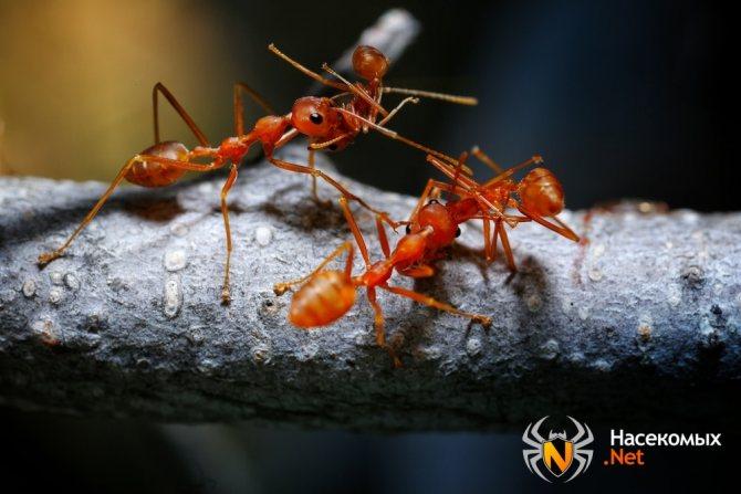 Как выглядят огненные муравьи
