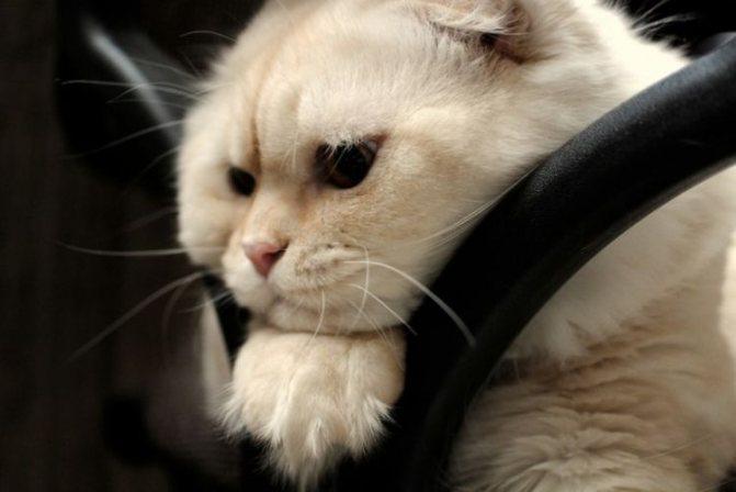 как вылечить кошку