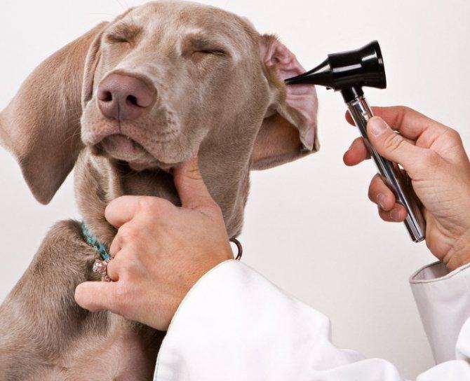 Как вылечить ухо собаке с помощью суролана