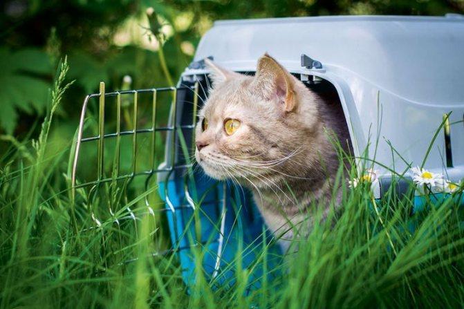 Как вытащить клеща у кошки в домашних условиях?