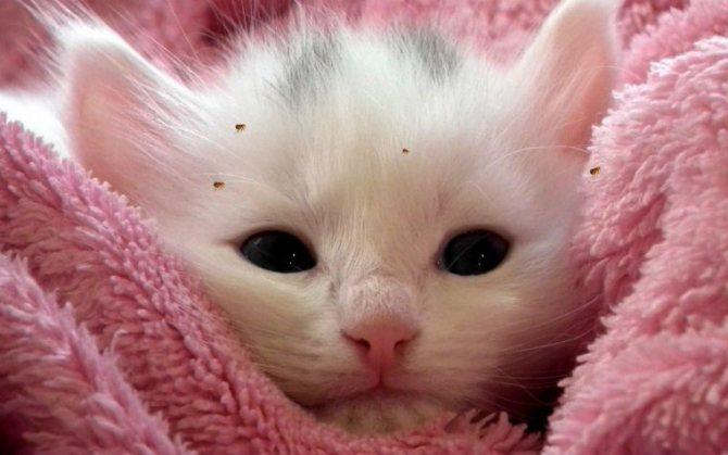 как вывести блох у котенка 1 месяц в домашних условиях