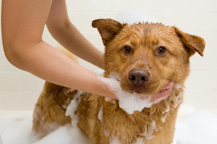 Как вывести блох у щенка в домашних условиях: подходящие средства