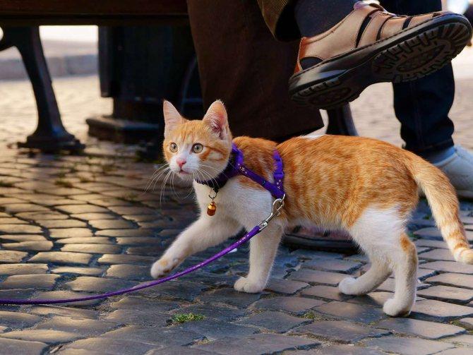 как вывести кота погулять