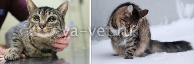 как вывести шерсть из желудка кота