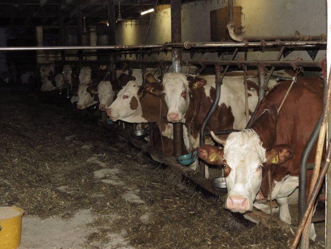 как выявить туберкулез у животных
