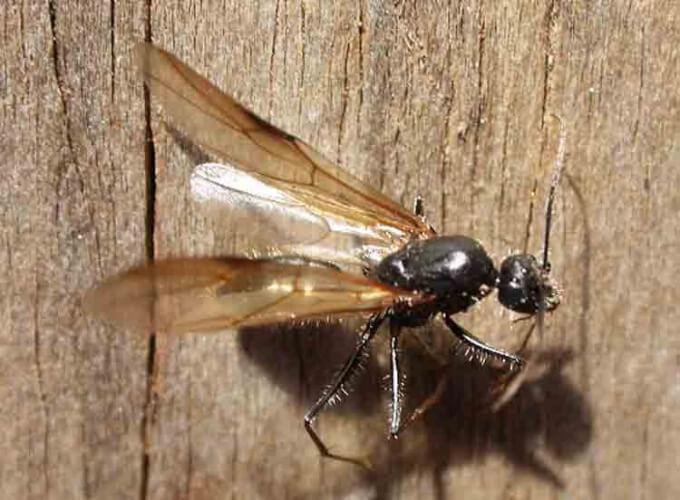Как живут муравьи с крыльями