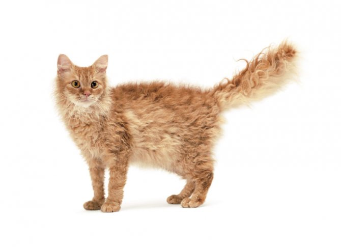Какая кошка подходит вам по знаку зодиака?
