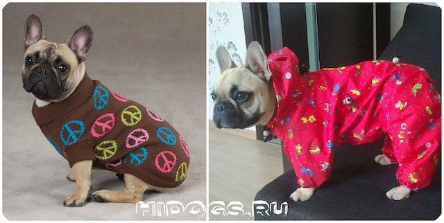 Какая одежда необходима для собак французского бульдога, как выбрать одежду, как сшить самому.