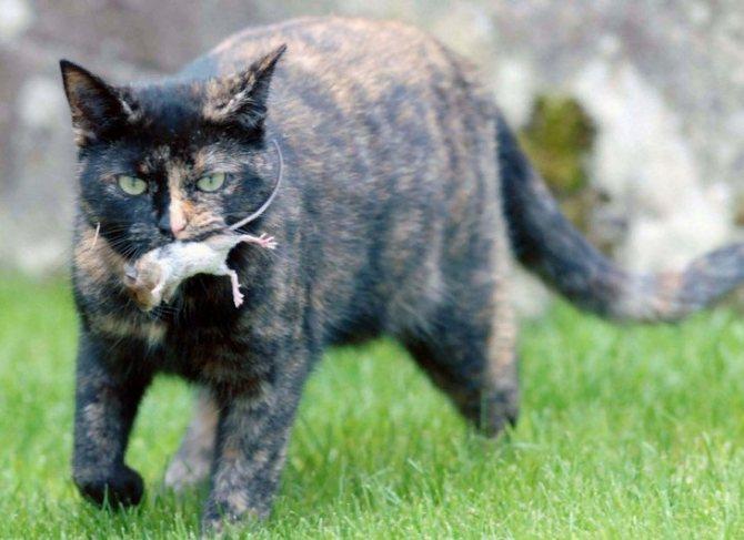 Какие кошки ловят мышей и крыс