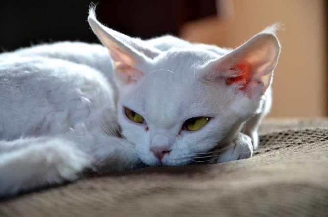Какие кошки не линяют