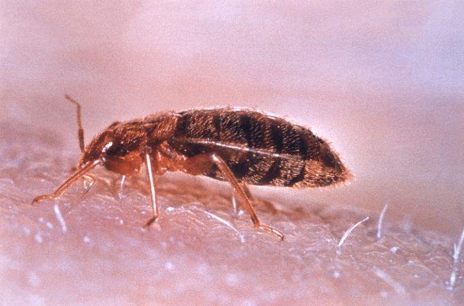 Какие насекомые питаются клопами