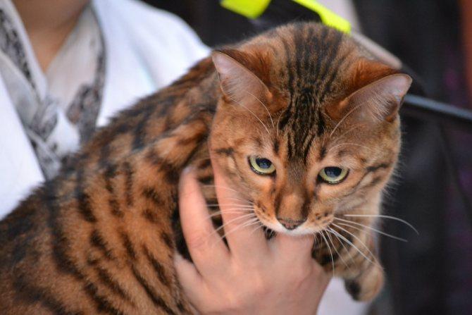 Какие породы кошек можно отнести к самым умным