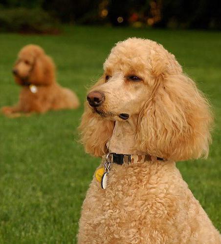 Какие породы собак не линяют