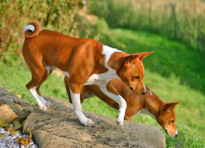 какие собаки не линяют и не пахнут
