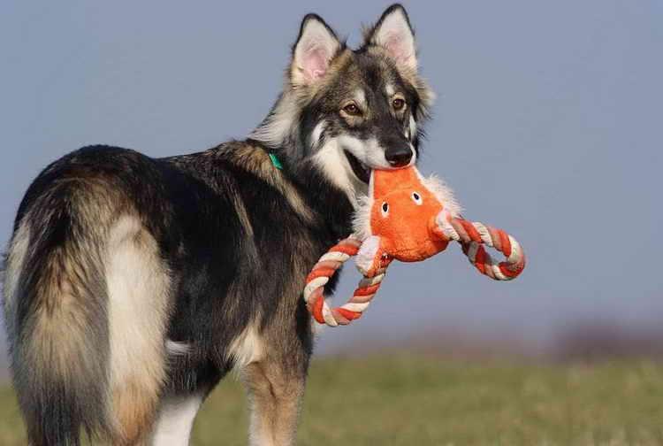 какие собаки похожие на хаски