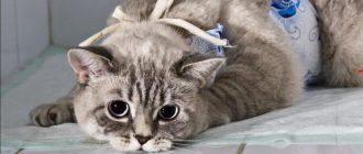 Каким кормом кормить кастрированного кота