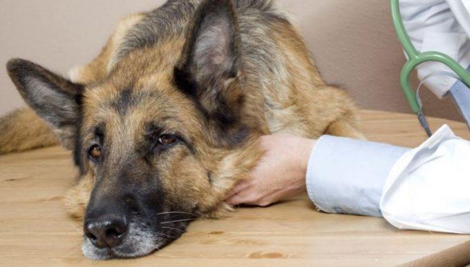 какой бывает мастит у собак
