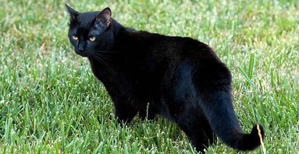 какой породы черные кошки