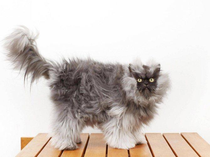 Какой самый пушистый кот в мире
