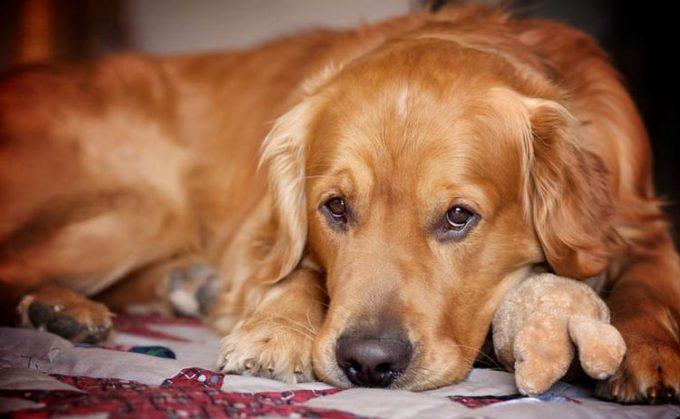 каковы симптомы у собаки мастита
