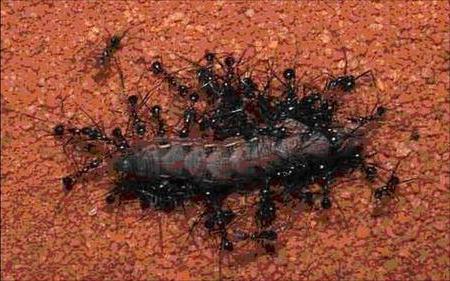 Какую пользу приносят муравьи лесу