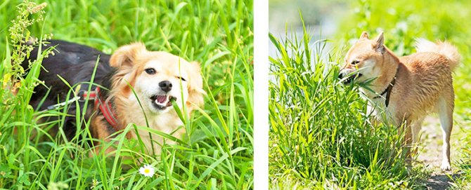 какую траву едят собаки