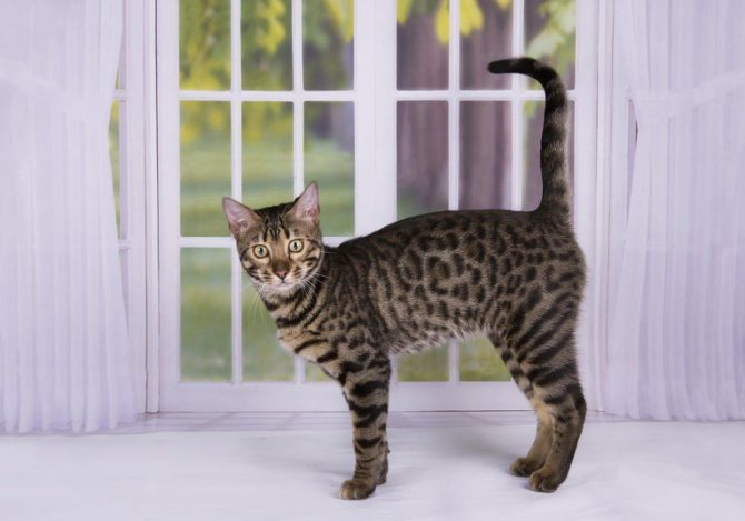 Калифорнийская сияющая кошка особенности породы